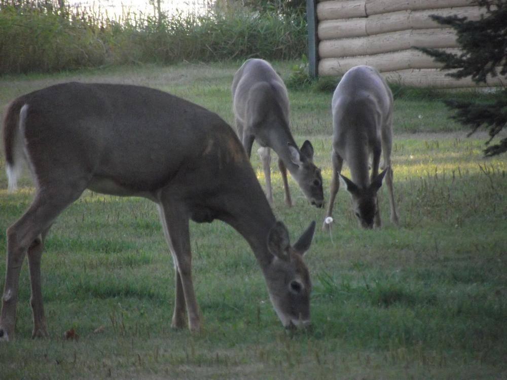 3 deer grazing at Everett Bay Lodge