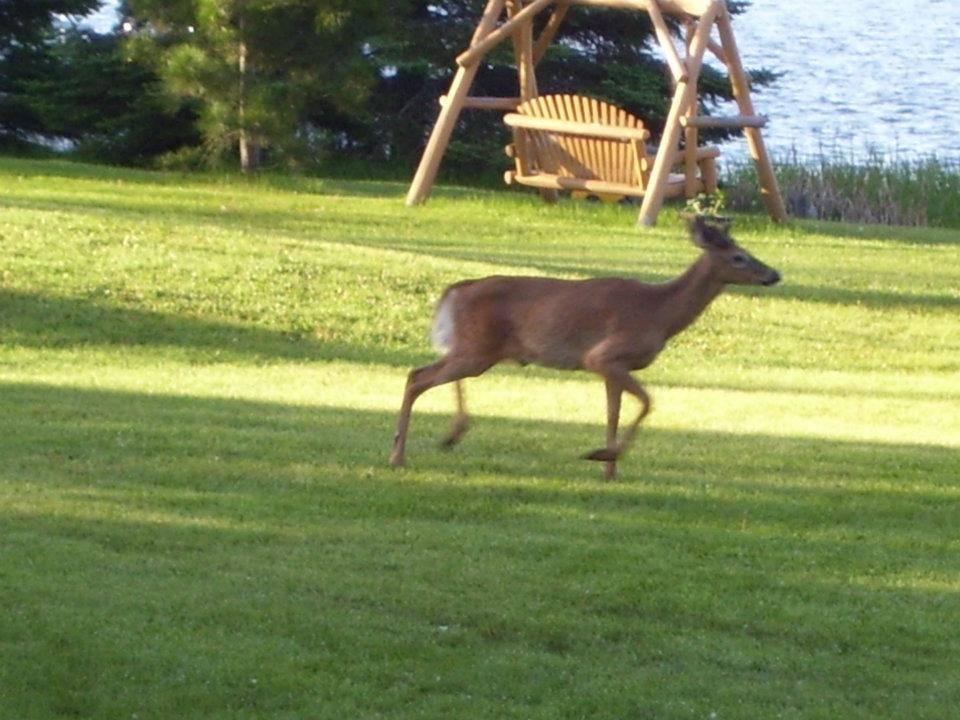 deer at Everett Bay Lodge on Lake Vermilion