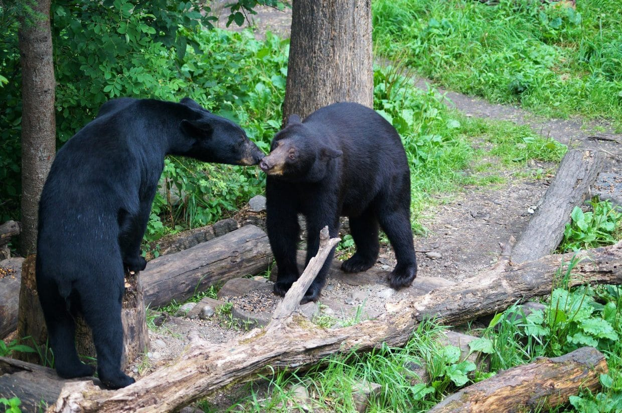 two bears at Vince Shute Sanctuary