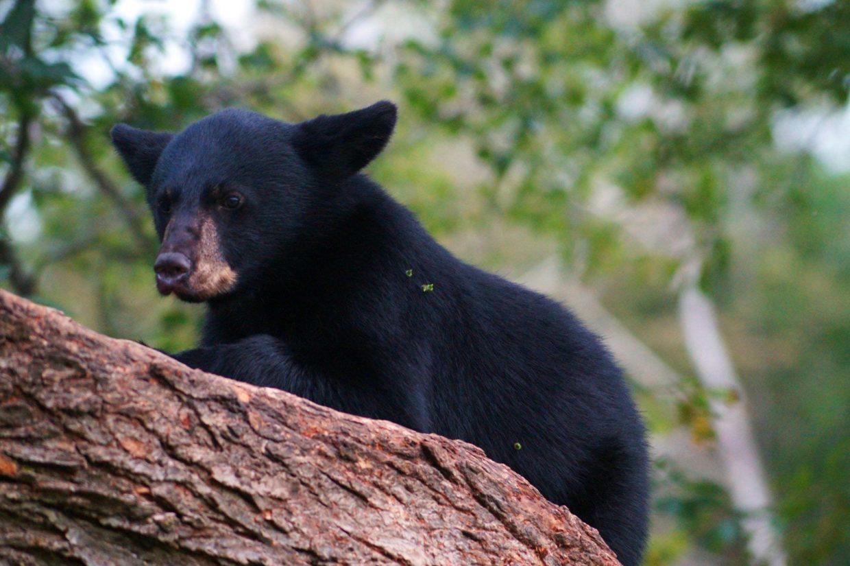 Bear cub on tree at Vince Shute Bear Sanctuary