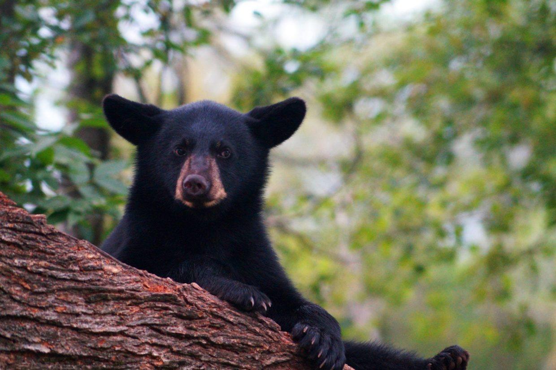 bear cub face