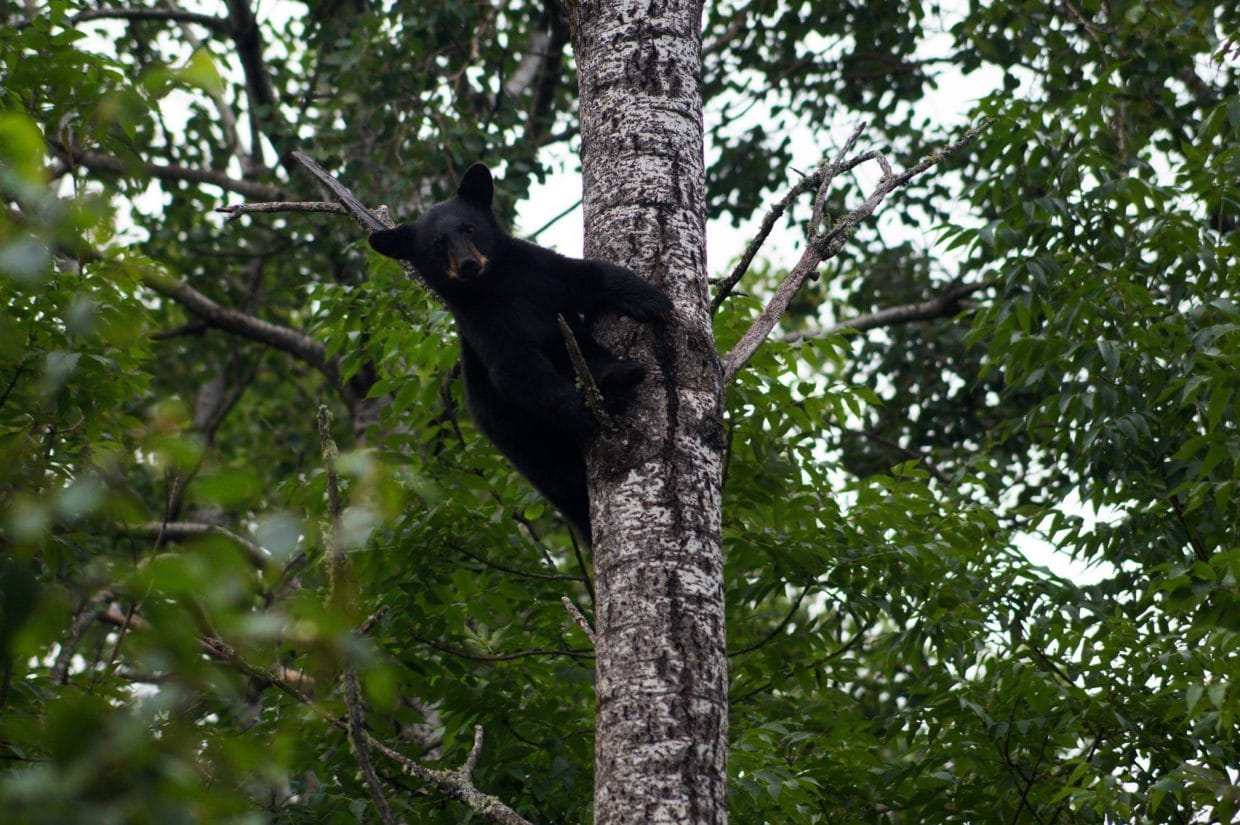 Bear in tree at Vince Shute Sanctuary