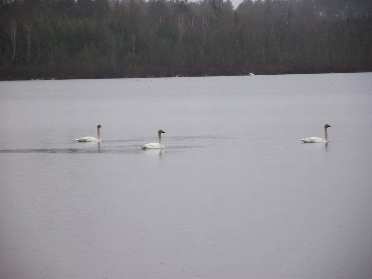 swans on Lake Vermilion
