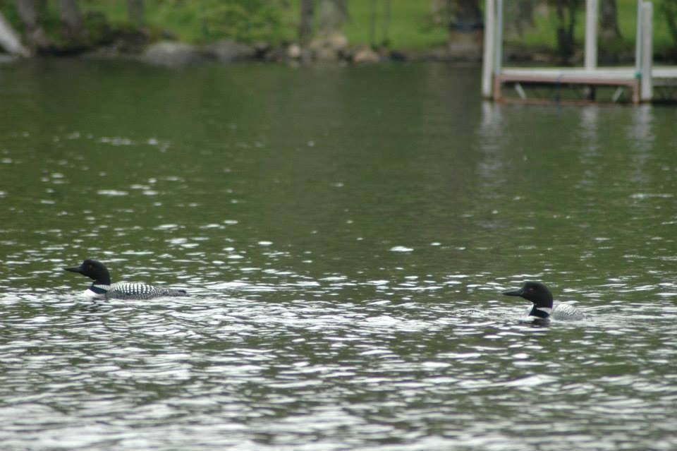 loons swimming in Minnesota