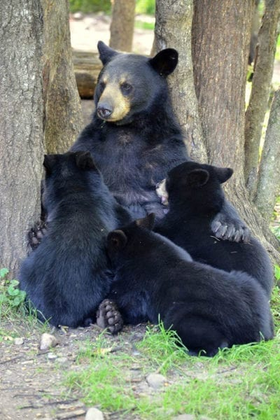 bears at Vince Shute Bear Sanctuary