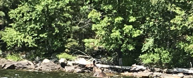 Moose at shore on Lake Vermilion