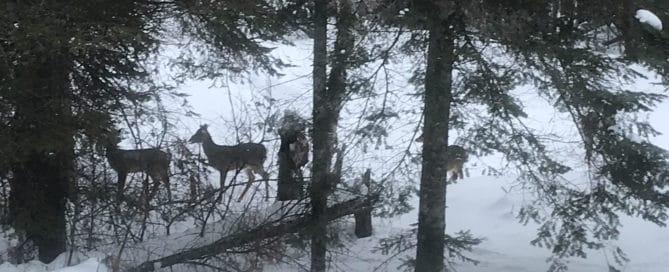 Two deer in snowy trees
